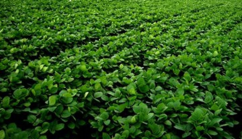 New high-yielding and pest-resistant variety of soybean can help boost countrywide production