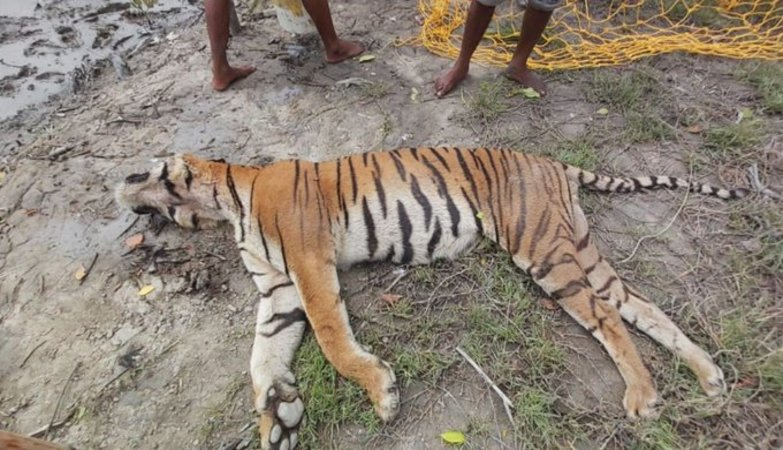 Royal Bengal tiger in Sunderbans dies on way to camp for treatment