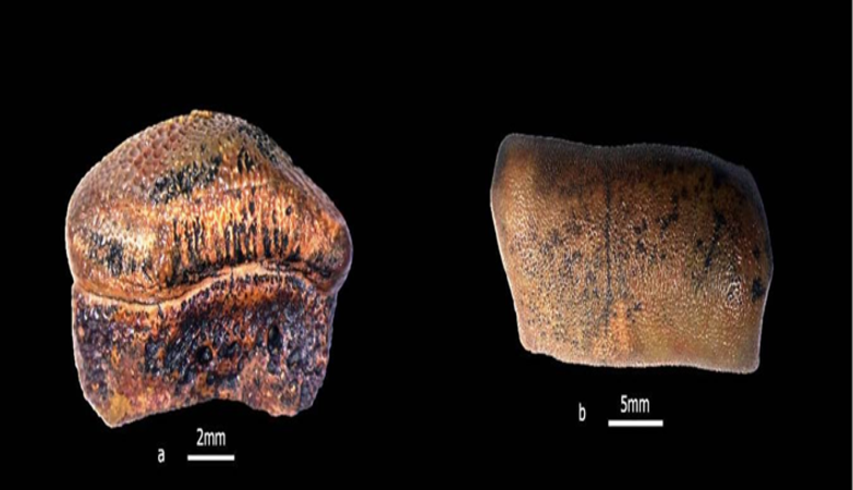 Teeth of new species of Hybodont Shark of Jurassic age discovered from Jaisalmer, Rajasthan
