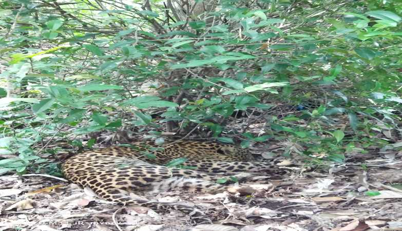 Leopard that escaped from Jhargram Zoological Park enclosure recaptured